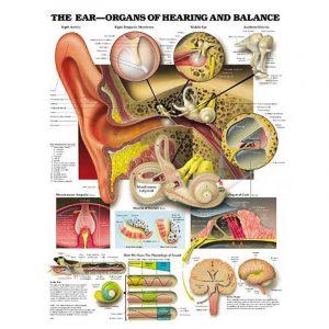 Organs of the Ear Chart