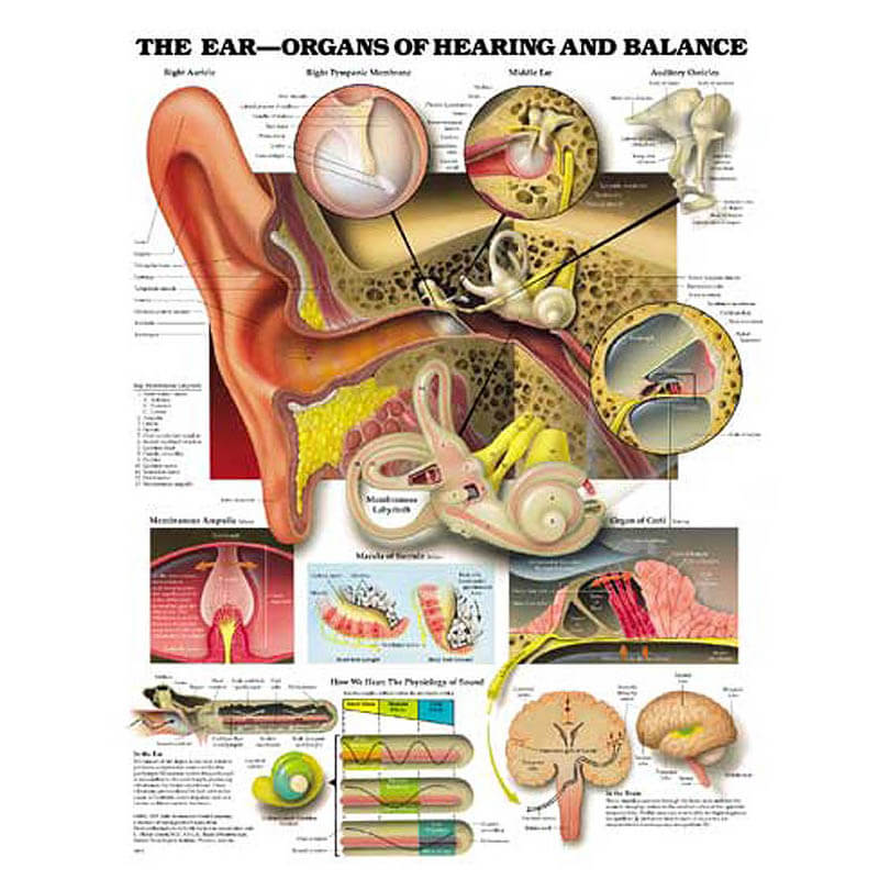 Organs of the Ear Chart